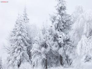 White trees by snow
