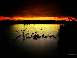 Ducks in a lake at sunset