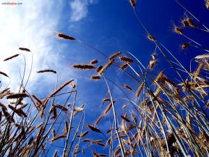 Wheat over a blue sky