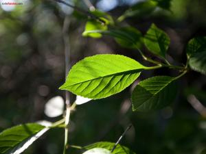 Illuminated leaf