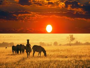 Zebras on the African savanna