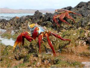 Crabs in the Galapagos Islands