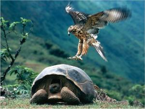 Galapagos giant tortoise being attacked
