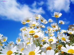Daisies to heaven
