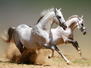 Pair of white horses