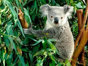 Koala among eucalyptus