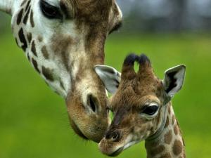 Giraffe with her calf
