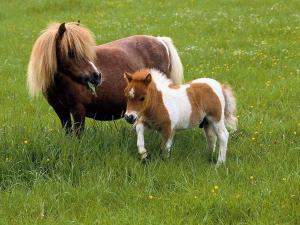 Dwarf horses