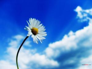 Daisy under a blue sky