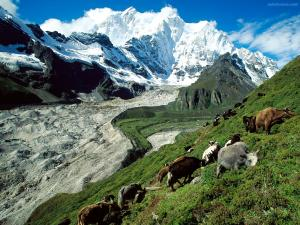 Cattle grazing in the mountainside