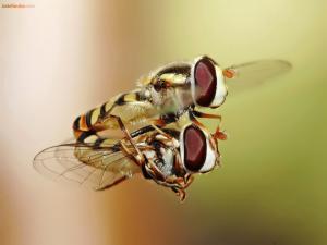 Hoverflies mating in midair
