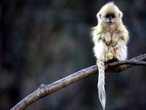 White-haired monkey