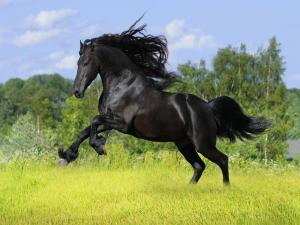 Black thoroughbred