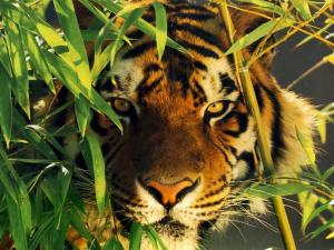 Tigre camouflaged