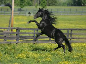 Black horse thoroughbred
