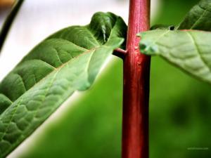 Red stem