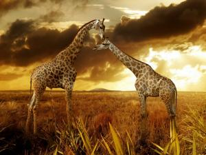 Giraffes in a golden landscape