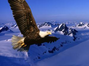 Eagle flying over snowy mountains