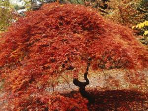 Tree covered with red leaves