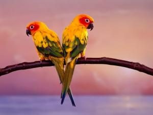 Pair of yellow parrots