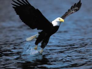 Eagle fishing