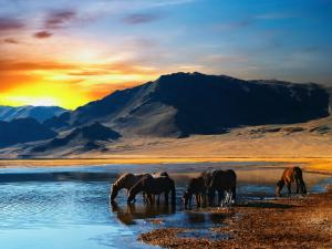 Wild horses drinking at the shore
