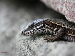 Lizard between rocks