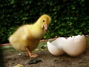 Duck and his eggshell