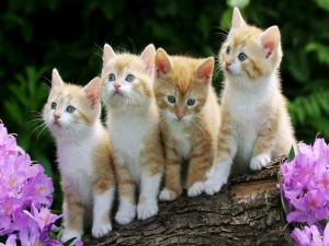 A litter of blonde kittens