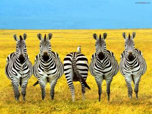 A zebra... different