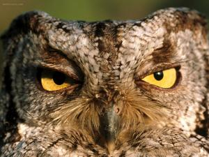 Somnolent owl