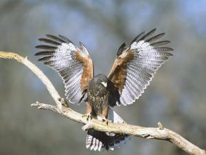Hawk with outstretched wings