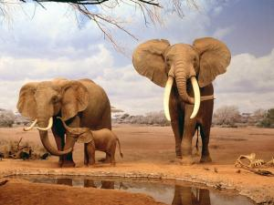 Family of africans elephants
