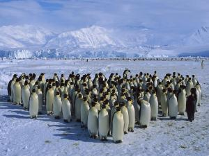 A large community of penguins