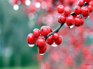 Wet red berries