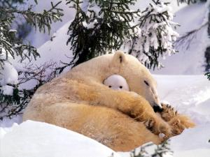 Bear covering her cub