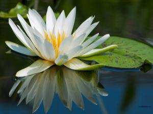 A white water lily on the water