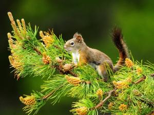 Squirrel climb to a pine branch