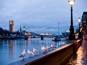 Gulls in London