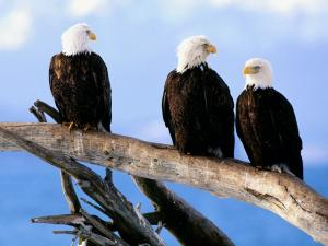 Three eagles watching the sky from a branch