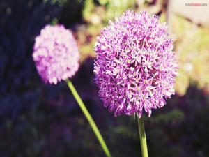 Wild lilac flowers