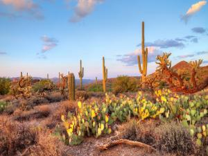 Cactus and prickly pears in Sonoran Desert
