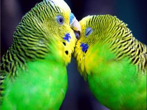 Love between parrots