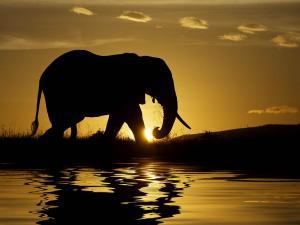 Elephant walking at sunset