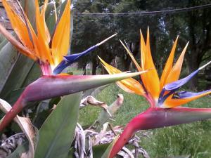 Birds of paradise (Strelitzia reginae)