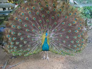 Peacock in captivity