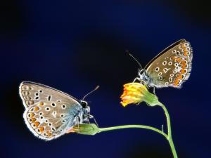 Speckled butterflies