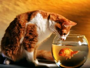 A cat watching to a fish