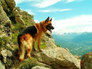 German shepherd climbing the mountain
