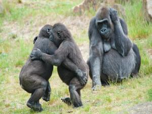 Two gorillas dancing, and her mom watching